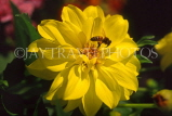 France, PARIS, Jardin Des Plantes, Bee on yellow Dahlia, FRA2088JPL
