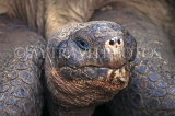 GALAPAGOS, Giant Tortoise (head), Darwin Research Centre, GAL306JPL