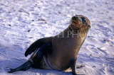 GALAPAGOS, Young Sea Lions on beach, GAL310JPL