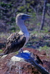 GALAPAGOS Islands, Blue Footed Boobie, GAL297JPL
