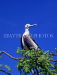 GALAPAGOS Islands, Frigate, perched on tree, GAL248JPL
