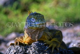 GALAPAGOS Islands, Land Iguana, GAL242JPL