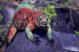 GALAPAGOS Islands, Marine Iguana (red and green), GAL239JPL