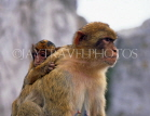 GIBRALTAR, Barbary Ape (Macaques) with young, GIB342JPL