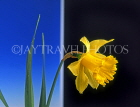 HOLLAND, Daffodil (against blue and black background), HOL761JPL