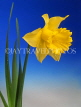 HOLLAND, Daffodil (against blue background), HOL715JPL