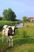HOLLAND, Edam countryside, farmland, cow, HOL827JPL