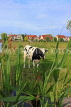 HOLLAND, Edam countryside, farmland, cow, HOL830JPL