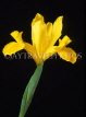 HOLLAND, Iris (against black background), HOL720JPL