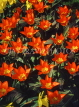 HOLLAND, Keukenhof Gardens and flowering Tulips, HOL699JPL