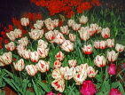 HOLLAND, Keukenhof Gardens and flowering Tulips, HOL703JPL