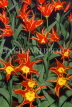 HOLLAND, Keukenhof Gardens and flowering Tulips, HOL745JPL