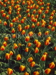 HOLLAND, Keukenhof Gardens and flowing Tulips, HOL123JPL