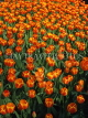 HOLLAND, Keukenhof Gardens and flowing Tulips, HOL669JPL