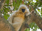 INDIA, Assam, golden langur monkey on tree, IND1438JPL