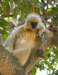INDIA, Assam, golden langur monkey on tree, IND1439JPL