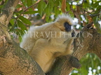 INDIA, Assam, golden langur monkey on tree, IND1440JPL