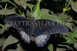 INDONESIA, Asian Swallowtail Butterfly, IND1207JPL