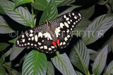 INDONESIA, Common Lime Butterfly, IND1196JPL