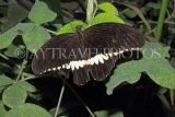 INDONESIA, Common Mormon Butterfly, IND1204JPL