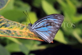 INDONESIA, Common Wanderer Butterfly, IND1192JPL