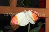 INDONESIA, Great Orange Tip Butterfly, IND1200JPL0