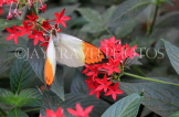 INDONESIA, Great Orange Tip Butterfly, IND1201JPL