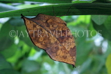 INDONESIA, Indian Leafwing Butterfly, wings closed, IND1180JPL