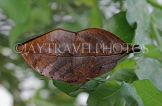 INDONESIA, Indian Leafwing Butterfly, wings closed, IND1181JPL