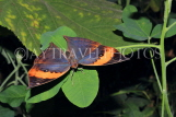 INDONESIA, Indian Leafwing Butterfly, wings closed, IND1182JPL
