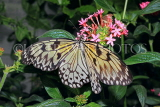 INDONESIA, Paper Kite Butterfly, IND1189JPL