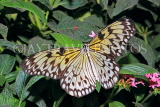 INDONESIA, Paper Kite Butterfly, IND1190JPL