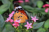 INDONESIA, Plain Tiger Butterfly, IND1208JPL