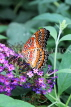 INDONESIA, Red Lacewing Butterfly, IND1183JPL