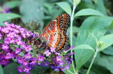 INDONESIA, Red Lacewing Butterfly, IND1184JPL