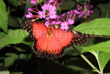 INDONESIA, Red Lacewing Butterfly, IND1187JPL