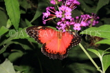 INDONESIA, Red Lacewing Butterfly, IND1188JPL