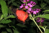 INDONESIA, Red Lacewing Butterfly IND1186JPL