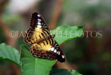 MALAYSIA, Penang, Brown Clipper Butterfly, MSA551JPL