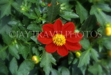 MEXICO, Yucatan, flowers of Mexico, red Dahlia, MEX673JPL