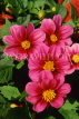 MEXICO, Yucatan, flowers of Mexico, red Dahlias, MEX675JPL