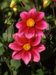 MEXICO, Yucatan, flowers of Mexico, two deep magenta Dahlias, MEX592JPL
