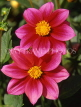 MEXICO, Yucatan, flowers of Mexico, two deep magenta Dahlias, MEX677JPL