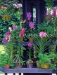 SINGAPORE, Botanical Gardens, Tropical Gardens, Spray Orchids, in pots, SIN538JPL