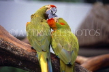 SINGAPORE, Jurong Bird Park, South American Red Fronted Macaws, SIN407JPL