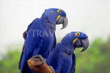 SINGAPORE, Jurong Bird Park, South American blue Hyacinth Macaws, SIN405JPL
