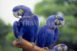 SINGAPORE, Jurong Bird Park, South American blue Hyacinth Macaws, SIN406JPL