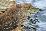 SRI LANKA, Kandy, Kandy Lakeside, Striated Heron, looking out for fish, SLK3857JPL
