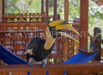 THAILAND, Koh Phangan Island, yellow pied Hornbill perched on a bungalow balcony, THA2211JPL