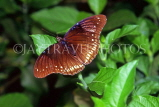 THAILAND, Northern Thailand, female Great Eggfly Butterfly, THA2163JPL